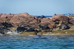 León marino del sello en Baja California Imágenes de archivo libres de regalías