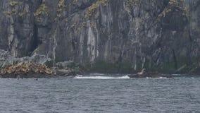 León marino en el acantilado rocoso y los pájaros que vuelan sobre el océano Animales salvajes de la vida y de mar almacen de metraje de vídeo