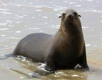 León marino en la costa fotos de archivo