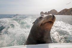 León marino en la parte de atrás del barco de pesca de la carta que pide pescados del cebo en Cabo San Lucas Baja Mexico fotografía de archivo libre de regalías