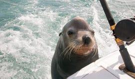 León marino en la parte de atrás del barco de pesca de la carta que pide pescados del cebo en Cabo San Lucas Baja Mexico imagen de archivo libre de regalías