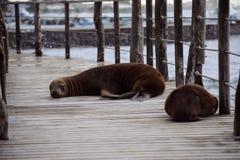 León marino en las islas de Galpagos foto de archivo