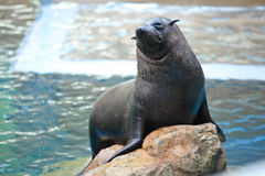 León marino en piedra Fotografía de archivo libre de regalías