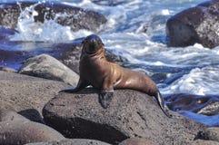 León marino en una roca fotos de archivo