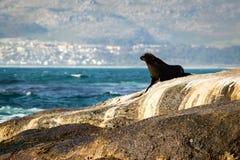 León marino en una roca Imágenes de archivo libres de regalías