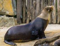 León marino enfermo con crecimiento del tumor en su enfermedad y atención sanitaria, problemas de salud del piel, animal del sell fotografía de archivo libre de regalías