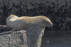 León marino estelar en una roca Imagen de archivo