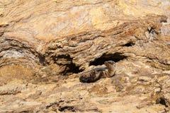 León marino joven Fotos de archivo libres de regalías