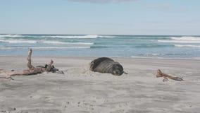 León marino masculino de Nueva Zelanda que descansa en la orilla metrajes