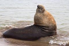 León marino masculino que miente en el agua del Atlántico Fotografía de archivo libre de regalías