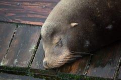León marino medio dormido Fotos de archivo