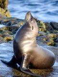 León marino que adora de Sun Imagen de archivo libre de regalías
