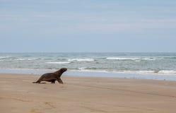 León marino que camina en la playa, Otago Nueva Zelanda Imagenes de archivo