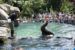 León marino que equilibra un parque zoológico NYC del Central Park de la bola Imagen de archivo