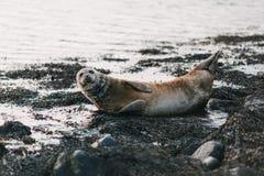 león marino que miente en costa con las rocas y las algas marinas en ytri fotos de archivo libres de regalías