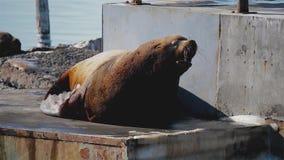 León marino que ruge en la colonia de grajos del león marino en Kamchatka almacen de metraje de vídeo