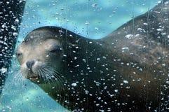 León marino que se zambulle bajo el agua en un acuario Imagenes de archivo