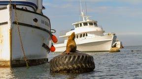 León marino que toma el sol en una boya que amarra en un puerto foto de archivo