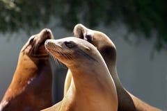 León marino que toma una siesta fotos de archivo libres de regalías
