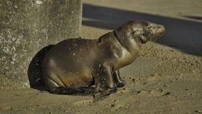 León marino/sello del bebé Fotografía de archivo libre de regalías