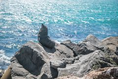 León marino, sello en el salvaje Foto de archivo