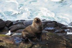 León marino y gaviota en la línea de la playa rocosa Imagen de archivo