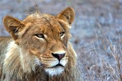 León masculino Imagen de archivo libre de regalías