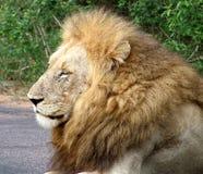 León masculino imagenes de archivo