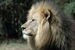 León masculino. Foto de archivo libre de regalías