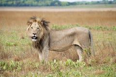 León masculino Fotografía de archivo