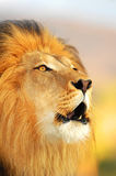 León masculino Fotografía de archivo libre de regalías