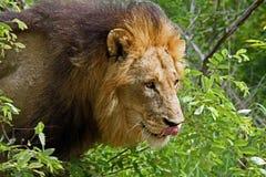 León masculino africano Fotografía de archivo libre de regalías