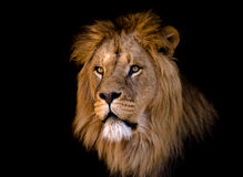 León masculino africano grande Imagen de archivo