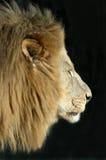 León masculino aislado en negro. Imagen de archivo libre de regalías
