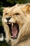 León masculino con la boca abierta que ruge mostrando los dientes Fotografía de archivo