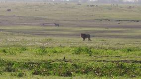 León masculino del cráter de Ngorongoro almacen de metraje de vídeo