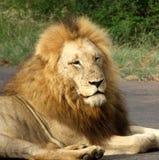 León masculino en África fotografía de archivo