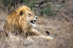 León masculino en arbusto natural Imágenes de archivo libres de regalías