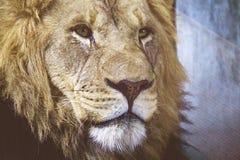 León masculino en Cheyenne Mountain Zoo foto de archivo
