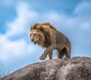 León masculino en el afloramiento rocoso, Serengeti, Tanzania, África Imágenes de archivo libres de regalías