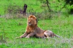 León masculino en el llano de Serengeti Fotos de archivo