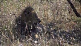 León masculino en la sombra de un árbol almacen de video
