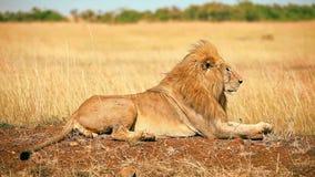 León masculino en Masai Mara almacen de video