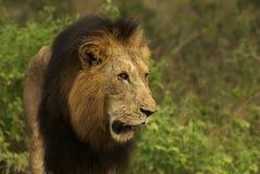 León masculino en selva Fotografía de archivo libre de regalías