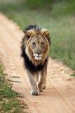 León masculino grande Fotografía de archivo libre de regalías