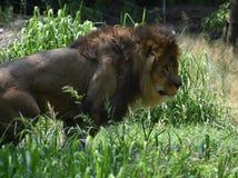 León masculino grande con una melena gruesa de la piel imágenes de archivo libres de regalías