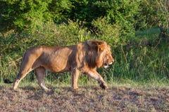 León masculino grande que camina en la sabana en África foto de archivo libre de regalías
