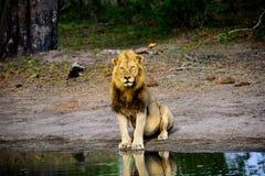 León masculino imponente que se sienta en el borde del ` s del agua Imagen de archivo