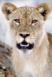 León masculino joven Imagen de archivo