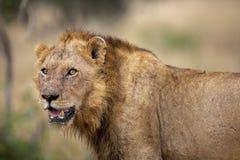 León masculino joven en el puesto de observación en el Kruger fotos de archivo